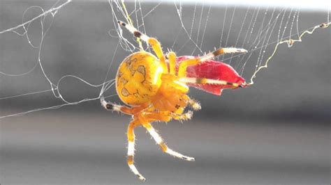 GIANT Marbled Orb Weaver Spider on our front porch! - YouTube