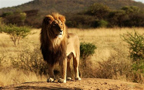 King Lion Wallpapers | HD Wallpapers | ID #9901
