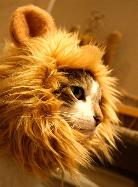 11 Cats with Manes Because They Are Really Lions at Heart